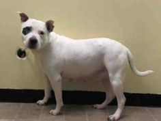 Lovables: SUPER URGENT 5/22/14 Manhattan Center   DIAMOND - A1000607  I am an unaltered female, white and black Pit Bull Terrier mix.  The shelter staff think I am about 11 years old.  I weigh 63 pounds.  I was found in NY 10469.  I have been at the shelter since May 21, 2014. https://www.facebook.com/photo.php?fbid=807768832569331&set=a.617942388218644.1073741870.152876678058553&type=3&theater