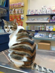 Cat haircut...there should really be a law against weird cat owners