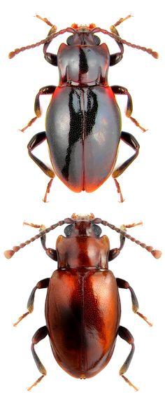 Lycoperdina koltzei; Lycoperdina dux