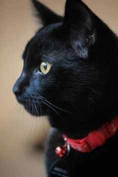 Black cat with golden eyes - and red collar...