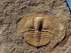 Deanaspis goldfussi. 10 mm. Trilobita, Asaphida, Trinucleoidea, Trinucleidae. Ordovicien. Barrandien, Letenske Formation, Letna, République tchèque. (640×480)