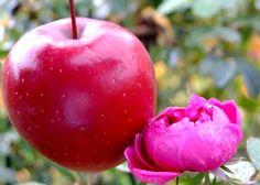 Berner rosenapfel