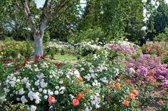 Royal National Rose Society on facebook https://www.facebook.com/RNRS.UK/photos/a.609118119116540.1073741826.131627506865606/1043743828987298/?type=3&theater