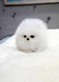 White Teacup Pomeranian fluff ball by graciela