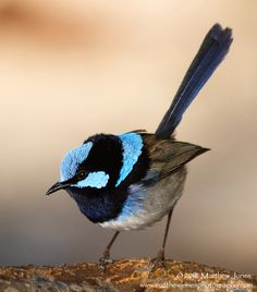 Tiny Bird, Small Birds, Little Birds, Pretty Birds, Love Birds, Beautiful Birds, Bird Identification, Crochet Birds, Australian Animals