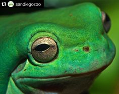 Frog ears are called tympanums and look more like a flat, disc-shaped patch of skin directly adjacent to each eye. Here's lookin' at you kid.  #funfacts #frogs #amphibians #sandiegozoo #picoftheday by Charles Jellison