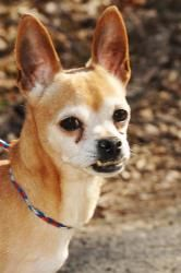 Julian is an adoptable Chihuahua Dog in Lambertville, NJ. JULIAN is a 3 year-old tan and white Chihuahua that weighs about 6 pounds. He is up to date on all his shots and is one healthy pup. He is ful...