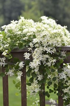 White flowers. - Sweet Autumn Clematis draped over the deck railing - from My Weeds Are Very Sorry                                                                                                                                                     More