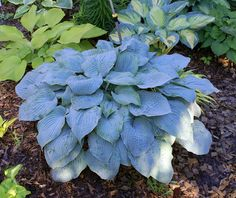 HOSTA: It is difficult to find a garden that is without this versitile East Asian native. Lush foliage in diverse colors, heights and textures, coupled with its ability to excel in deep shade have cap
