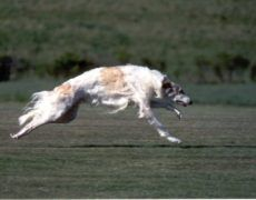 Borzoi Dog Info, Mixes, Temperament, Training, Puppies, Pictures Puppy Images, Puppy Pictures, Borzoi Puppy, Russian Wolfhound, Training Your Puppy, Dry Dog Food, Collie, Dog Breeds, Puppies