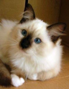 Ragdoll Kitten..my new obsession