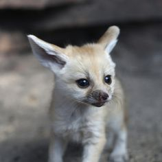 See the stars in the eyes of this fennec fox-ette? | This Year's 45 Most Lovable Baby AnimalPictures