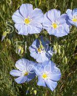 Linum lewisii Blue Flax Seeds