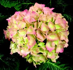 """Der botanische Name der Hortensie lautet """"Hydrangea"""" und stammt aus dem Griechischen. Übersetzt bedeutet dieser """"viel Wasser"""" oder """"Wassergefäß"""". Sehr treffend, denn Hortensien lieben feuchte, humusreiche Böden im Halbschatten und sollten bei Trockenheit regelmäßig gegossen werden."""