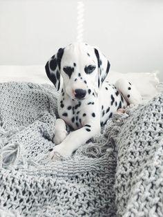 #dalmatian #dalmatianpuppy #puppy #dalmatiandog 10 best images about viljodalmatian on Pinterest