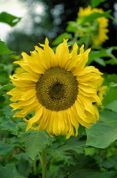 I will grow tall sunflowers, make sunflower seeds, and enjoy the beauty they add to my garden