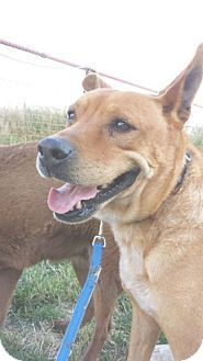 Pictures of Barney a Australian Cattle Dog/Labrador Retriever Mix for adoption in Lubbock, TX who needs a loving home.