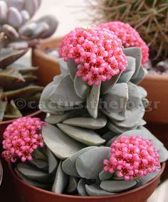 Mixed color succulent plant seeds meaty plant Flower seeds home decoration bonsai plant seeds for home garden Crassula Succulent, Succulent Gardening, Cacti And Succulents, Planting Succulents, Cactus Plants, Garden Plants, House Plants, Planting Flowers, Organic Gardening