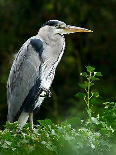 Taken at Harewood House, Leeds, UK. My Website Kinds Of Birds, Love Birds, Beautiful Birds, Animal Of Scotland, Grey Heron, British Garden, Look At The Sky, Nature Animals, Bird Watching