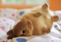 A brown rabbit rolling on its back on a blanket <3