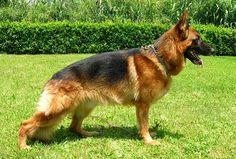 Pastore Tedesco (German Shepherd) #pastoretedesco, #germanshepherd, #cani, #dogs