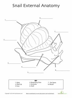 Worksheets: Snail Anatomy