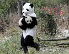 Chinese panda researchers dress as panda bears to help baby pandas get accustomed to the wild... :D