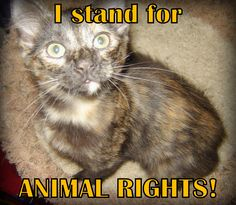 I stand for animal rights! Foster torti kitty Ginger. -- cat, feline, kitty, tortoiseshell, stand up, animal rights, animal advocacy, advocate, support animals, pets, pet parent, furkid, look up, meme, photo.