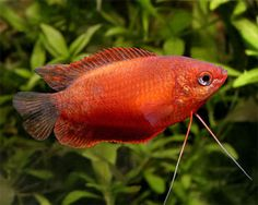 Flame Dwarf Gourami | Flame Dwarf Gourami, (Trichogaster lalius) Species Profile, Flame ...
