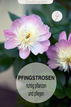 richtig pflanzen und pflegen. Pfingstrosen sind sehr pflegeleicht. Wichtig ist der richtige Standort, da Pfingstrosen Ungarn verpflanzt werden. #Blumen #Garten #freudengarten