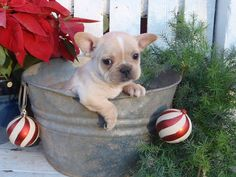 french bulldog puppy (LILY!)