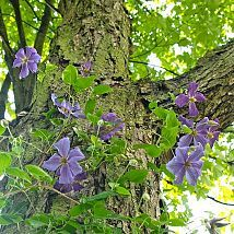 How To Train a Clematis on a Tree Trunk When I planted a climbing hydrangea (Hydrangea anomala subsp. petiolar… :: Hometalk