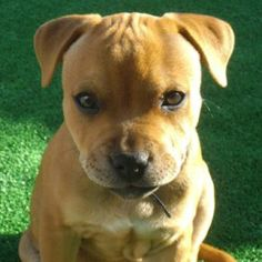 Also from the staffy rescue calendar... Adorable