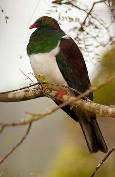 Native New Zealand Pigeon.