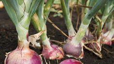 Un articol de Cristian Iacov  In randurile de mai jos veti afla cateva utilizari surprinzatoare ale cepei, utilizari ce va vor pune pe ganduri si incepand de maine, sunt sigur ca nu o veti mai evita!  Mirosul ei puternic si unic, cat si gustul intens, fac din aceasta leguma o alegere perfecta. Cititi … Eggplant, Vegetables, Eggplants, Vegetable Recipes, Veggies