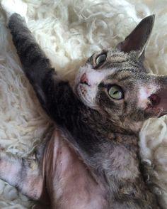 #девонрексики#wearefriends#котейки#девондевондевонрекс!#cats#foodforcats#catsininstagram#catsVSdogs#яикошки#кошки-нашибратьяменьшие#уменяестьты#кошатинка#кошечки#коты+кошки=❤️❤️❤️❤️❤️❤️❤️❤️❤️❤️❤️❤️❤️❤️❤️❤️❤️❤️❤️#