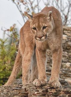 Superb Nature - beautiful-wildlife: Cougar by Wade Aiken Pretty Cats, Beautiful Cats, Animals Beautiful, Pretty Kitty, Jaguar, Nature Animals, Animals And Pets, Cute Animals, Pumas Animal