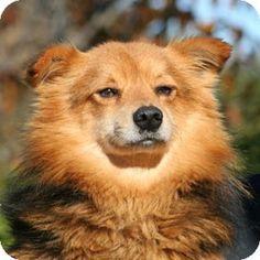 Pet Adoption has dogs, puppies, cats, and kittens for adoption. Corgi Pomeranian Mix, Corgi Mix, Dog Pictures, Cute Pictures, Walnut Creek California, Frou Frou, Pet Adoption, Police, Lion