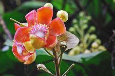 beautiful! cannonball tree flower
