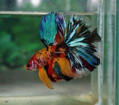 Tropical-fish-Healthy-Betta-Base-Yellow-Candy-Koi-Halfmoon-male The Effective Pictures We Offer You About Tropical fish design A quality picture can tell you many things. Koi Betta, Tropical Fish Aquarium, Tropical Fish Tanks, Betta Tank, Aquarium Fish Tank, Aquarium Sharks, Fish Ocean, Betta Fish Types, Betta Fish Care