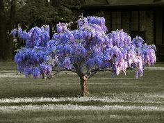 Wisteria bush by Franklin Armstrong, via Flickr
