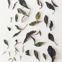 Brewing and photographing tea leaves, old and new, with @alisonchristiana today.
