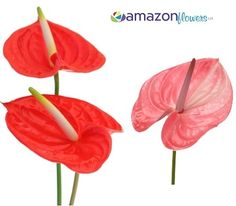Bulk Anthurium, Wholesale Anthurium Cut Flowers, Buy Anthurium Online, Tropical flowers & bulk flowers   Amazonflowers.us