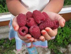 Mit kell tenni, málna volt a legnagyobb / Design for all! Garden Pests, Garden Tools, Farm Gardens, Outdoor Gardens, Summer House Garden, Growing Raspberries, Strawberries, Strawberry Planters, Eating Organic