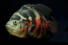 Astronotus ocellatus - Oscar, Velvet Cichlid, Marble Cichlid   Flickr - Photo Sharing!