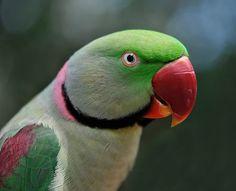 parakeet - Google Search