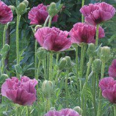 Papaver Central Park   Oriental Poppy