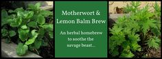 Man…is this brew ever a winner! I'm going to make an annual batch every single fall to help carry me through the grim and grey February and March mood swings.  Motherwort is a healer. Well named as a Mother, she wants to nurture and strengthen you, to help you mellow out from anxiety and tension. Motherwort is a tonic for the heart – … Read More
