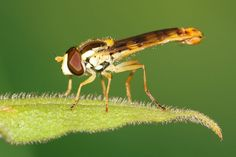 Print of Hoverfly