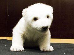 困ったな、白クマの赤ちゃんがかわいすぎるんだ:らばQ